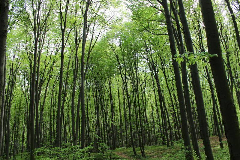 Dark green forest thicket. Forest where very tall trees and green grass in the distance are stock photo