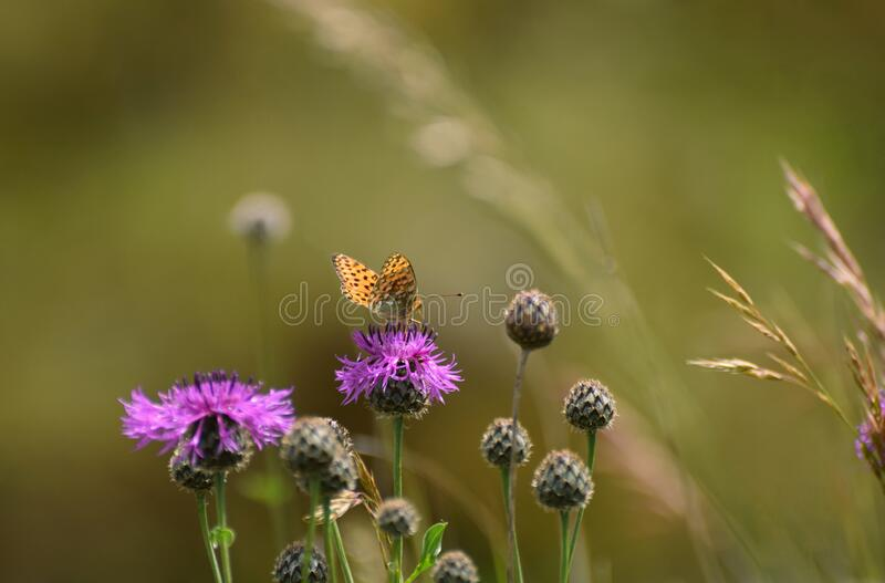 Dark Green Fritillary butterfly Argynnis aglaja on a thistle in a wild flower meadow in Summer stock photos