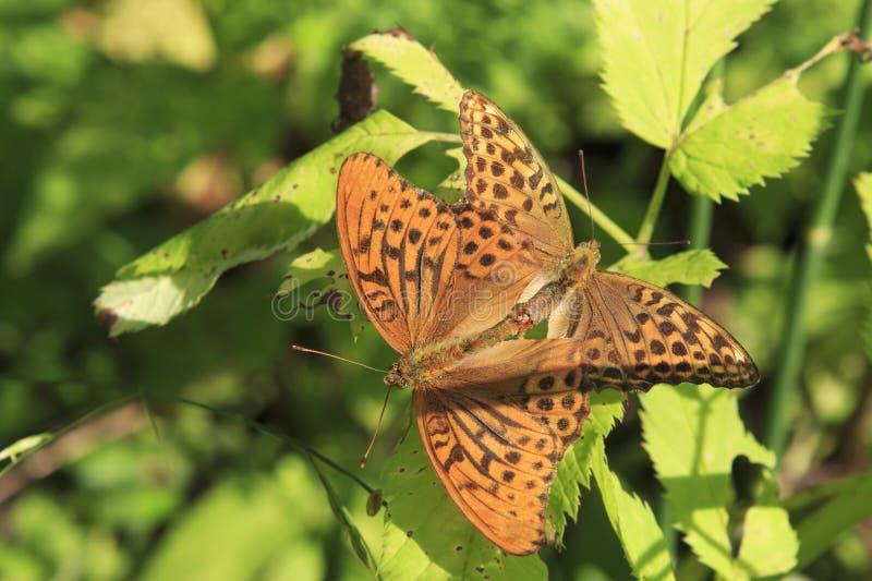 Dark Green Fritillary butterfly Argynnis aglaja royalty free stock photos