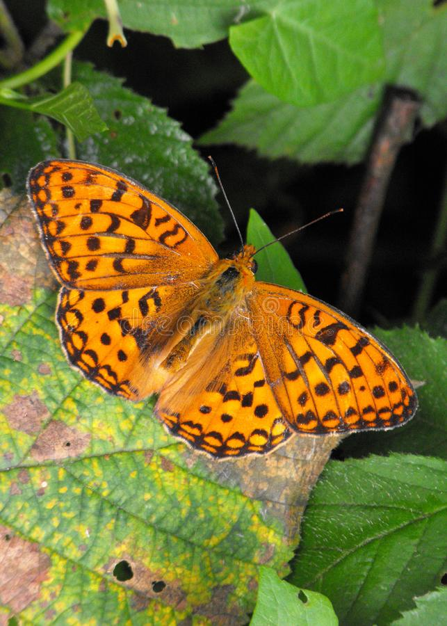 Dark Green Fritillary butterfly royalty free stock image