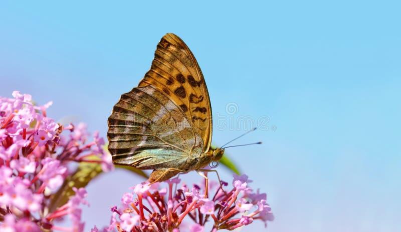 Dark green fritillary butterfly Argynnis aglaja stock photos