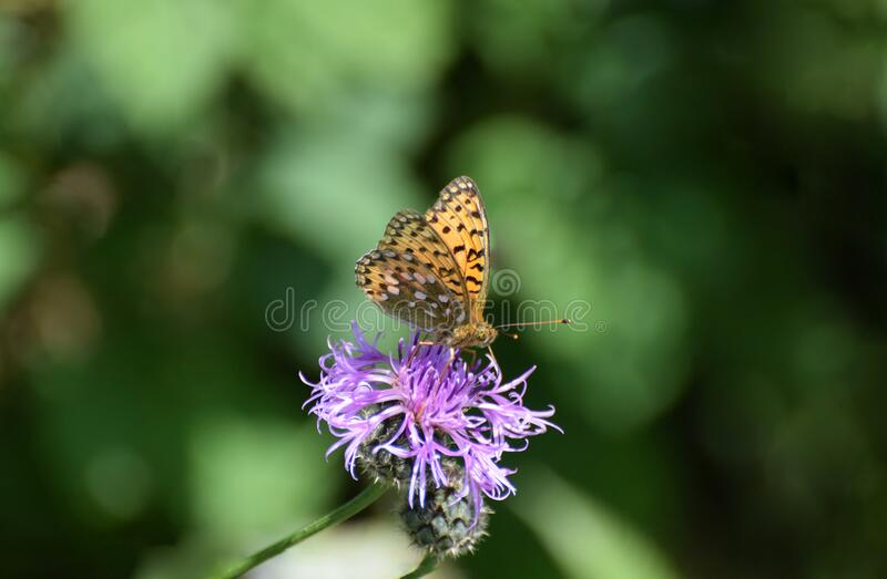Dark Green Fritillary Butterfly  Speyeria aglaja feeding on purple thistle flowers royalty free stock images