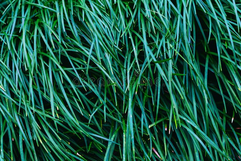 Dark green grass close up, natural background texture. Use for backdrop or design element in natural concept. Toned in dark saturated color royalty free stock images