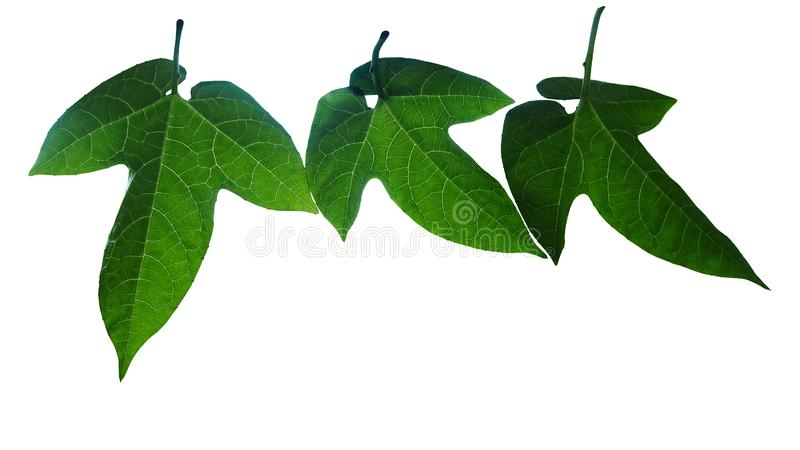 Dark green leaves venation pattern of Gac plant Momordica cochinchinensis or Baby Jackfruit the tropical vine plant isolated on royalty free stock photo