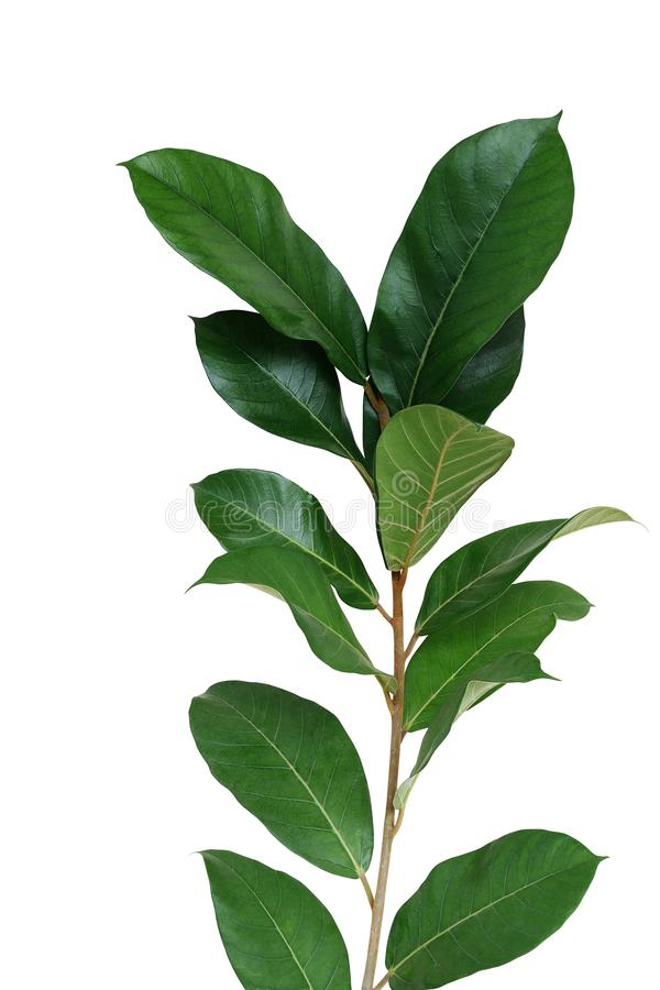 Dark green leaves wild fig tree young plant Ficus species the tropical rainforest tree isolated on white background, clipping. Path included royalty free stock images