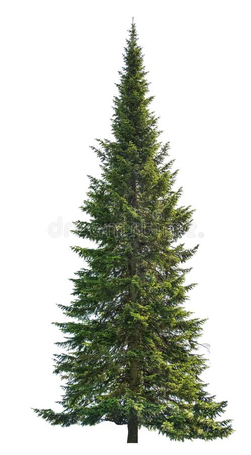 Free Dark Green Straight Isolated Fir Tree Royalty Free Stock Images - 129897789