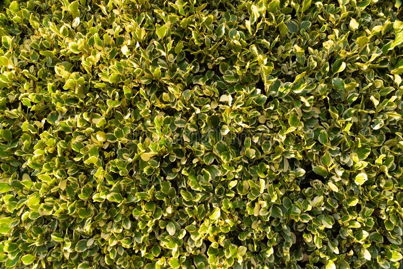 Dark Green yellow closeup leaves texture. Dark Green yellow shaded closeup leaves texture with shiny leaves trimmed straight flat stock photo