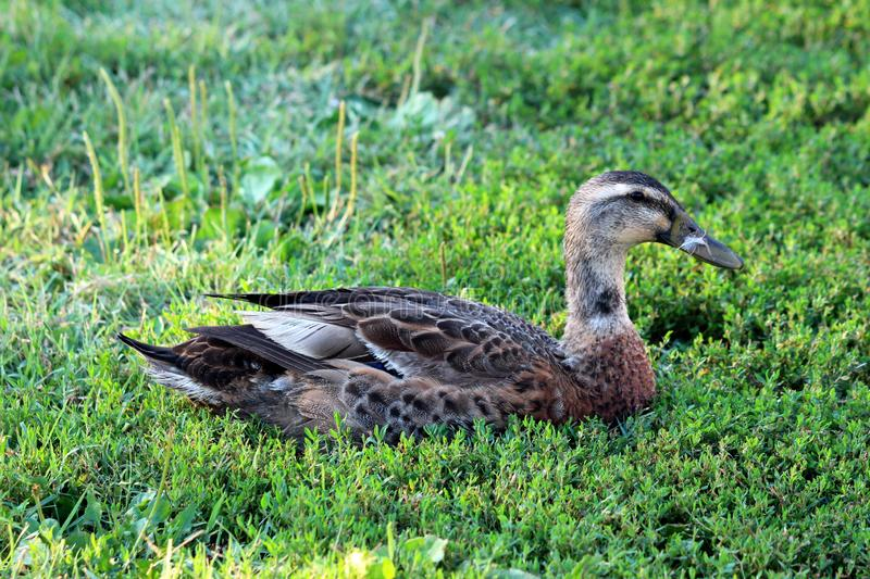 Dark grey feathered duck with small white feather on beak sitting on soft green grass. Enjoying warm sun royalty free stock images