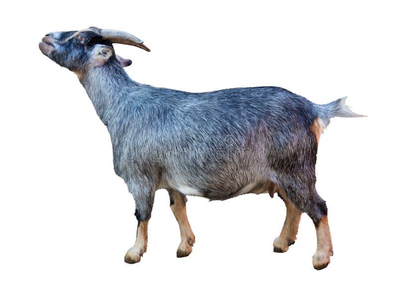 Dark Grey Goat Isolated On White Stock Image - Image of white, brown: 64016977  One Goat White Background