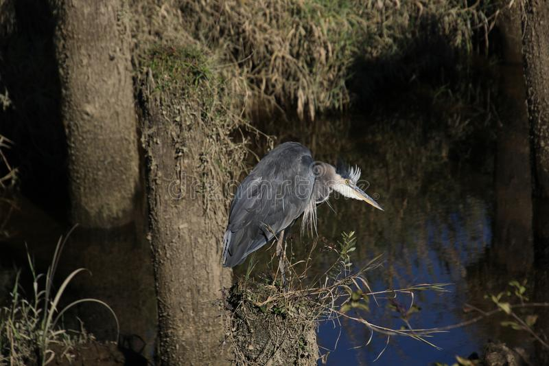 A dark grey great blue heron standing on a piling royalty free stock photography