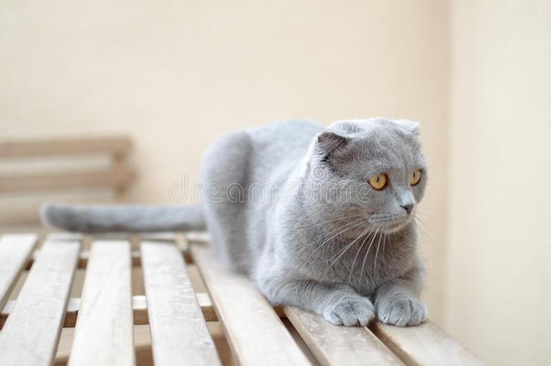 Dark grey Scottish Fold. Portrait of Scottish Fold Kitten sitting, two years old royalty free stock photos