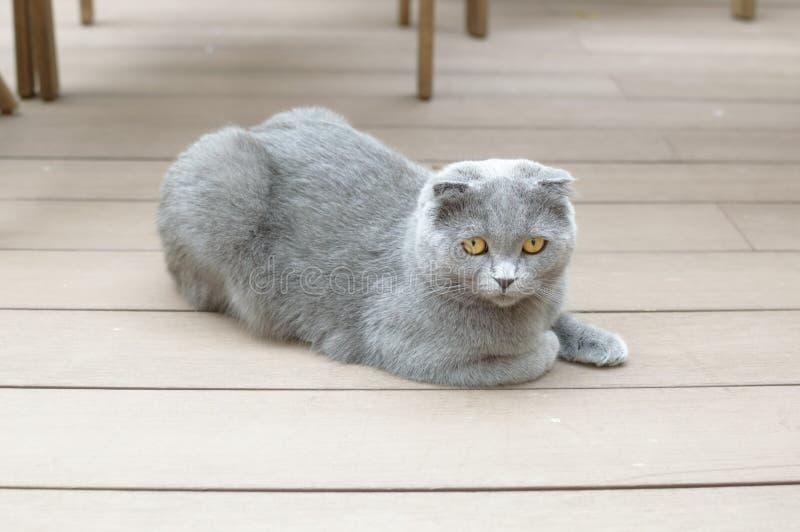 Dark grey Scottish Fold. Portrait of Scottish Fold Kitten sitting, two years old stock photo