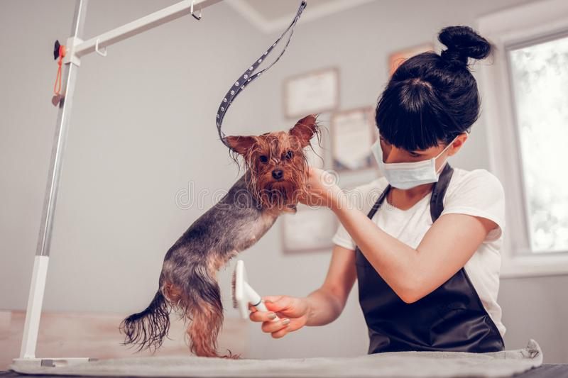 Dark-haired woman with hair bun grooming cute little dog royalty free stock photo