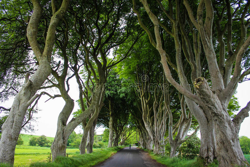 The Dark Hedges, Ballymoney, Northern Ireland. Was a filming location for the Game of Thrones Kingsroad royalty free stock image