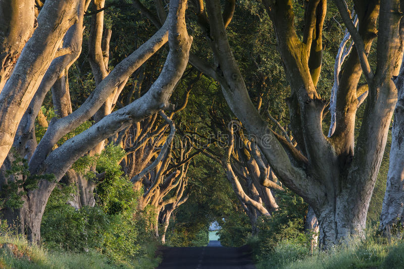 The Dark Hedges - County Antrim - Northern Ireland. Early morning sunlight on the 'Dark Hedges' - an avenue of ancient trees in County Antrim in Northern Ireland royalty free stock images