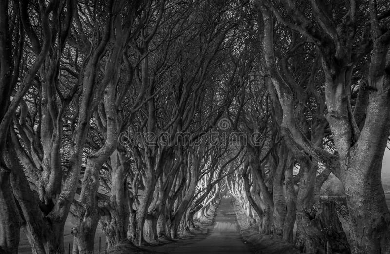Dark hedges. The dark hedges made famous by game of thrones northern Ireland royalty free stock images