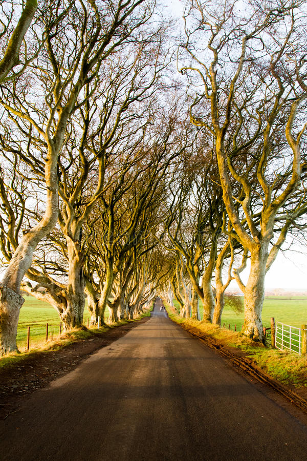 The Dark Hedges Forest. The Dark Hedges, romantic, atmospheric, tunnel-like avenue of intertwined beech trees, planted in the 18th-century in Stranocum, County royalty free stock photos