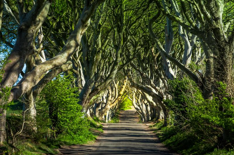 The Dark Hedges. Northern Ireland royalty free stock images