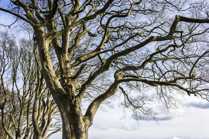 The Dark Hedges, Northern Ireland. The Dark Hedges, an avenue of beech trees in Ballymoney, County Antrim, Northern Ireland, featured as a popular filming royalty free stock image
