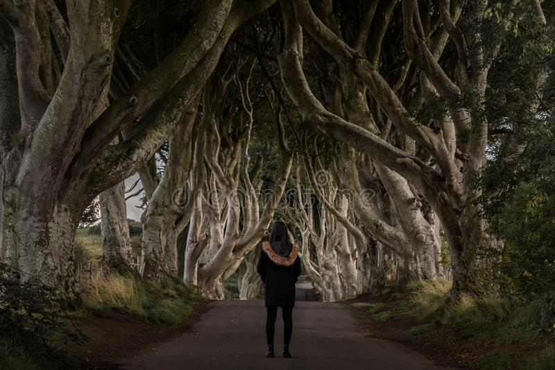 The Dark Hedges, Northern Ireland. The Dark Hedges, Located between Armoy and Stranocum in County Antrim, Northern Ireland. It is an avenue of beech trees along royalty free stock images