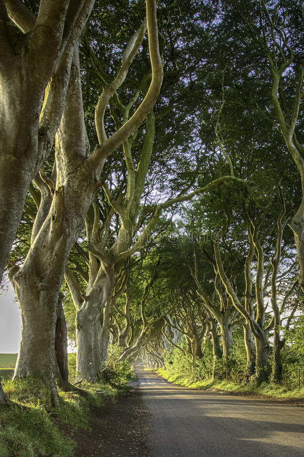 The Dark Hedges. On northern Ireland. Scenes from the popular TV serie Game of Thrones were shot here royalty free stock photography