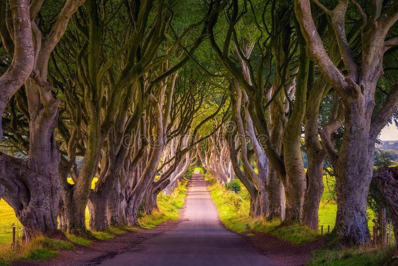 The Dark Hedges in Northern Ireland at sunset. Road through the Dark Hedges tree tunnel at sunset in Ballymoney, Northern Ireland stock image