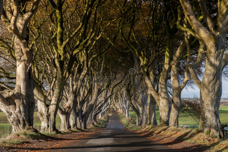 Dark Hedges, Northern Ireland. Tunnel-like avenue of intertwined beech trees called Dark Hedges, Northern Ireland is the popular tourists attraction. It was used royalty free stock images