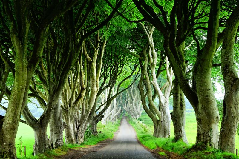 Dark Hedges of Northern Ireland, view of road through tunnel of trees. Majestic Dark Hedges of Northern Ireland. View down road through tunnel of trees royalty free stock photo