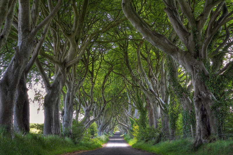 Dark Hedges road. With magical shaped trees. Northern Ireland royalty free stock image