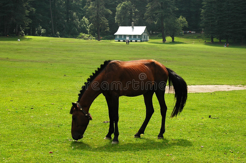 Dark Horse. Horse grazing at Khajiar Lake, Dalhousie, Himachal Pradesh,India royalty free stock images
