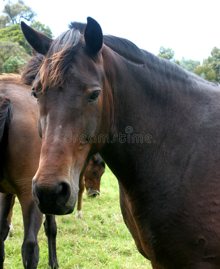 Dark Horse royalty free stock image