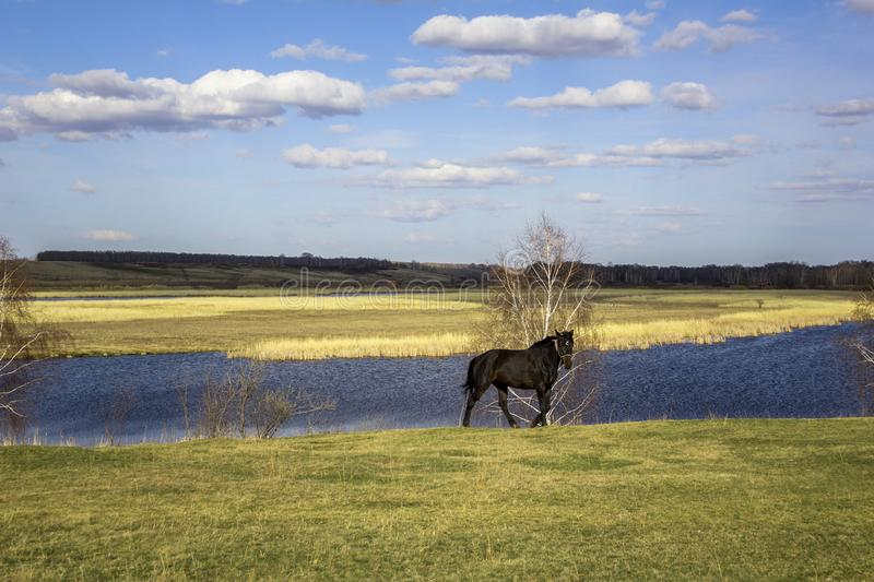 Dark horse on a green meadow against the background of a river valley with dry reeds under a blue sky. A dark horse on a green meadow against the background of a stock images