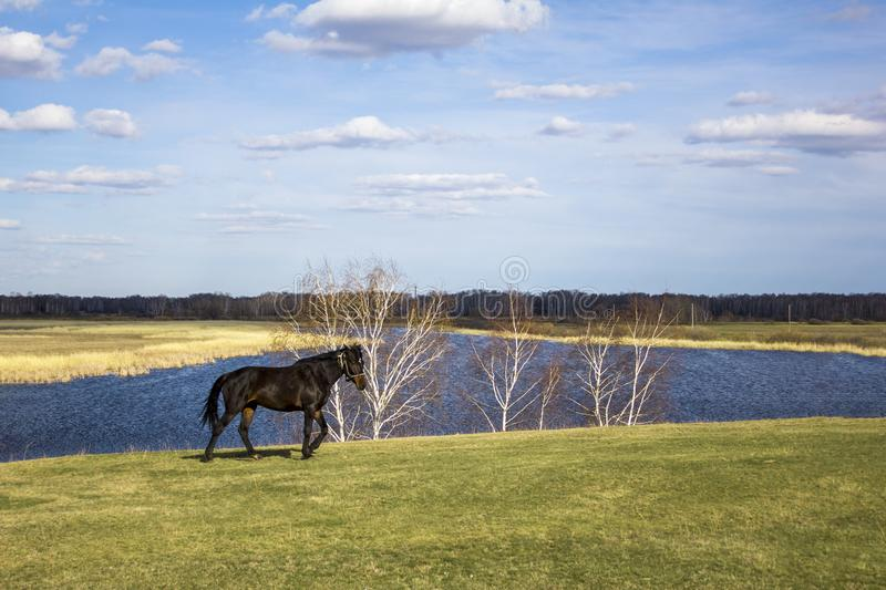 Dark horse on a green spring meadow against the background of a river valley with dry reeds under a blue sky. A dark horse on a green spring meadow against the royalty free stock photo