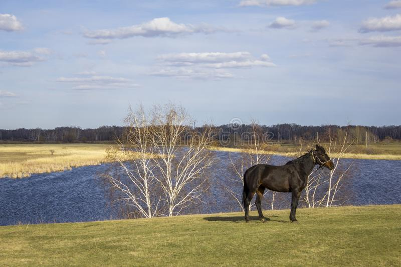 Dark horse on a green spring meadow against the background of a river valley with a forest and dry reeds under a blue sky. A dark horse on a green spring meadow royalty free stock photos