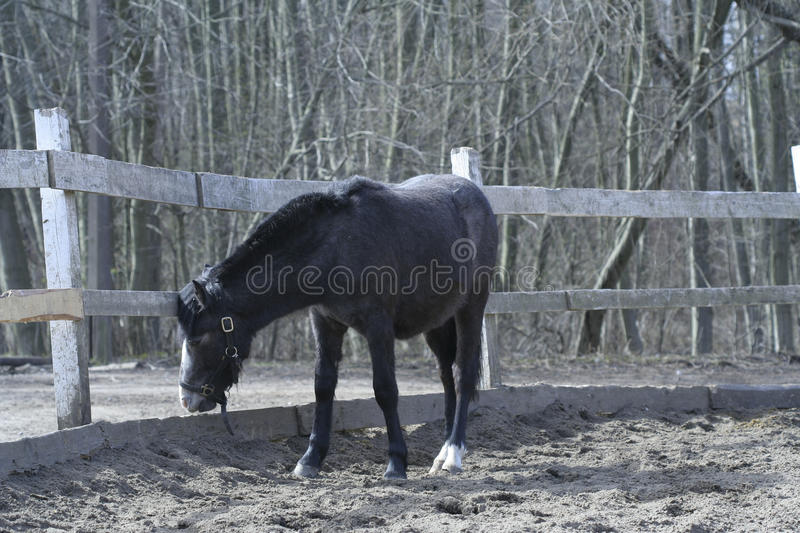 Dark horse near a fence in the spring. Photography of horse bowed its head royalty free stock image
