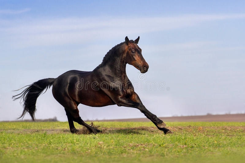 Dark horse on pasture royalty free stock image