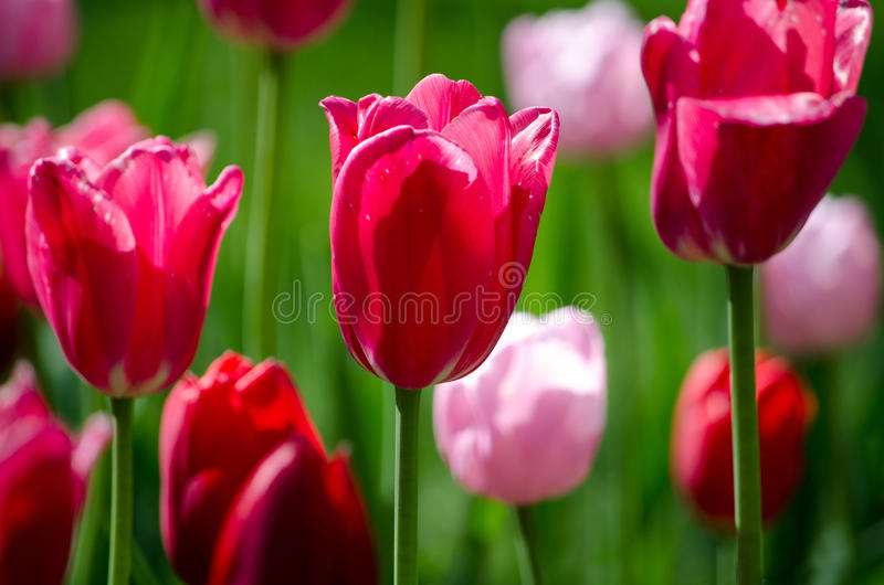 Dark and light pink tulips royalty free stock image