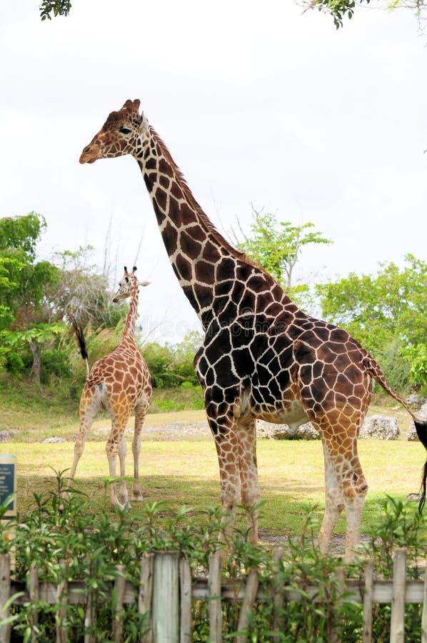 Dark Male Giraffe & Light Female royalty free stock photography