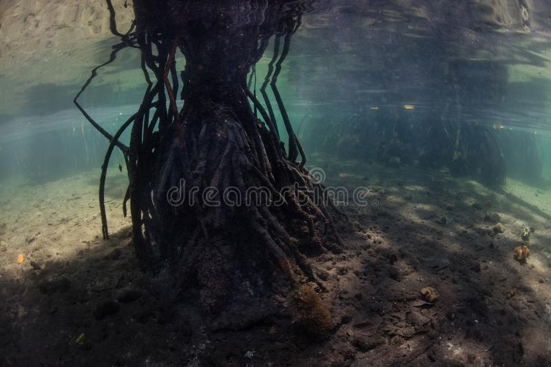 Dark Mangrove Forest Underwater in Raja Ampat. Prop roots support trees in a blue water mangrove forest in Raja Ampat, Indonesia. This remote, tropical region is royalty free stock photos