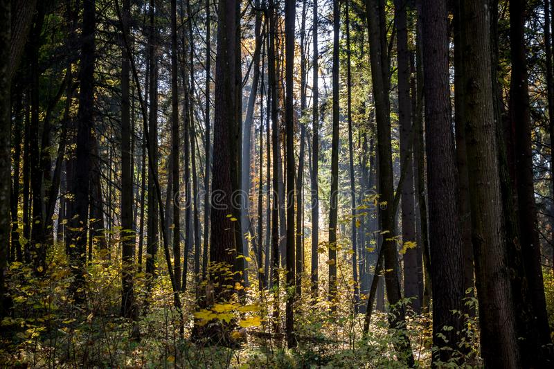 Dark mixed forest with beautiful sunlight royalty free stock photo