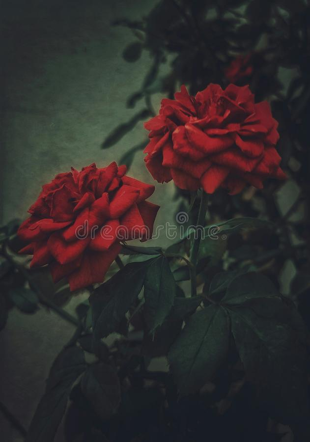A dark, moody edit of a couple of red roses in a plant stock images