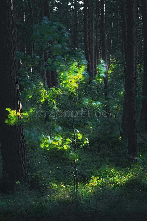Dark and moody, magical, fairy tale pine forest with young mountain ash, rowan, Sorbus aucuparia tree. Mysterious pinewood at night. Pomerania, Poland royalty free stock images