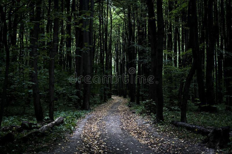 Dark moody misty heavy forest path with many trees. Dark moody misty heavy forest path stock images