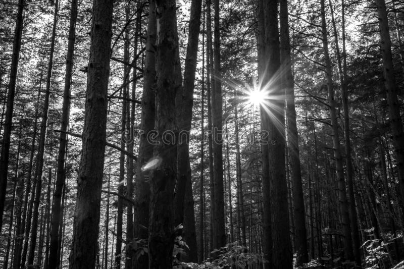 Black and white pine forest against sunset rays stock photo
