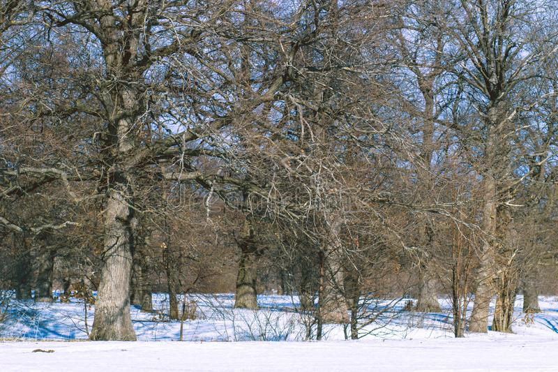 Oak grove in the winter white forest stock image