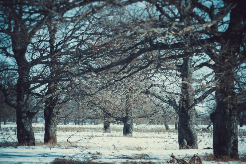 Oak grove in the winter white forest stock photos