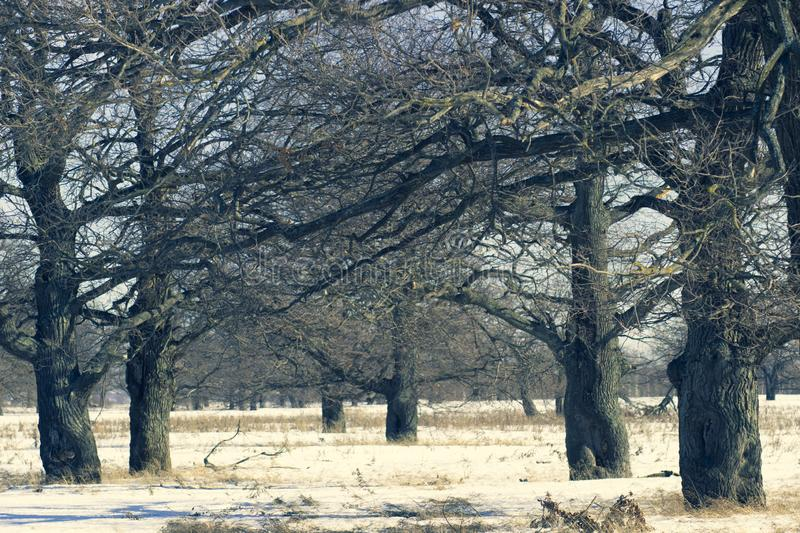 Oak grove in the winter white forest royalty free stock image