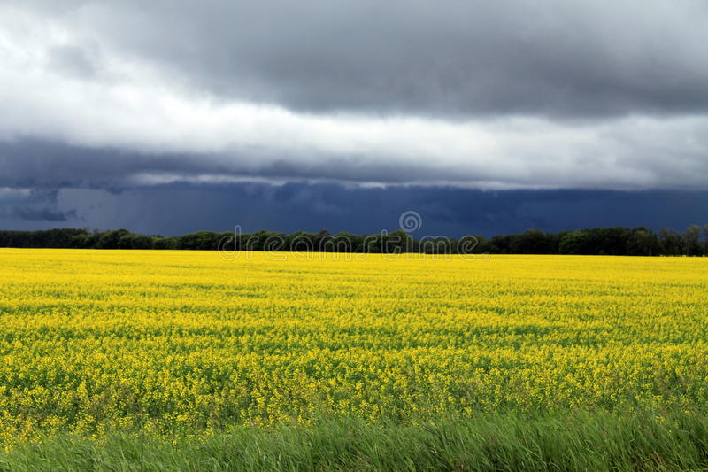 Dark, Ominous clouds over Field of Manitoba Canola in blossom. A local farmer's field of bright yellow field of Canola seen growing in south Central Manitoba stock image