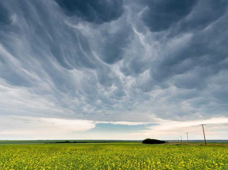 Dark and ominous mammatus storm clouds over a canola field. North of Swift Current, Saskatchewan royalty free stock photo