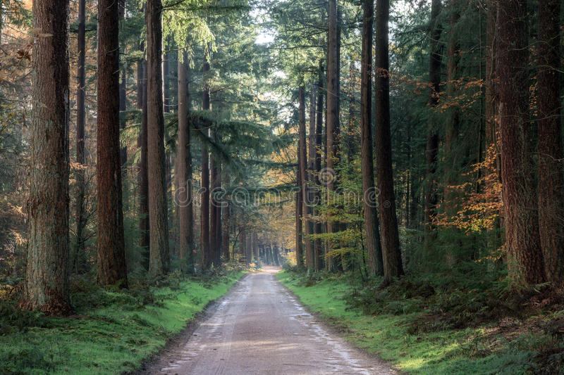 Dark path forest. Beautiful dark path in autumn in the Speulder forest in the Netherlands with pine trees stock photo